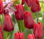 Tulpe Ruby Prince