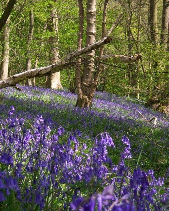 English Bluebell woodland