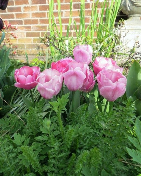 Tulip Cleveland