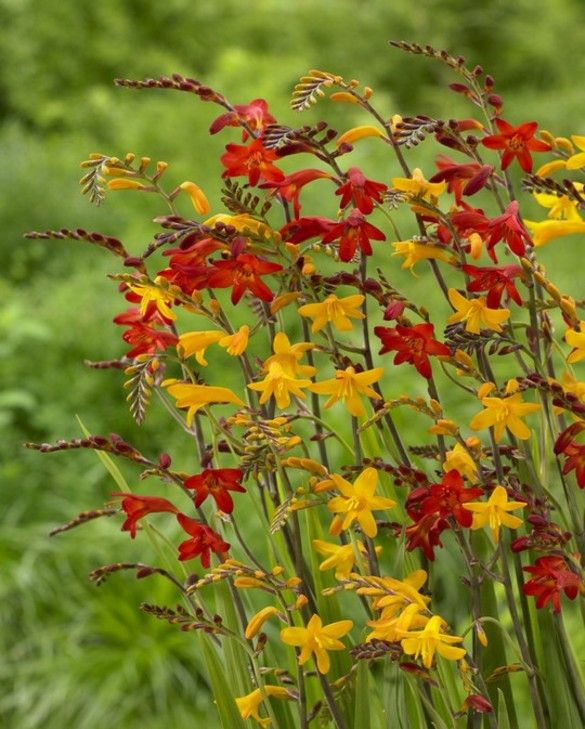 Crocosmia Mixture Large Flowering