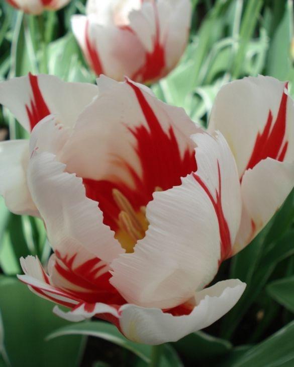 Tulip Happy Generation