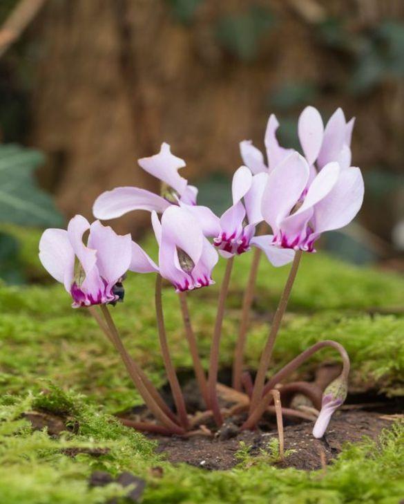 Cyclamen Hederifolium (Neapolitanum)