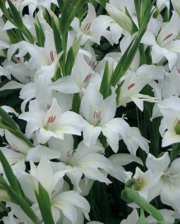 Gladiolus The Bride