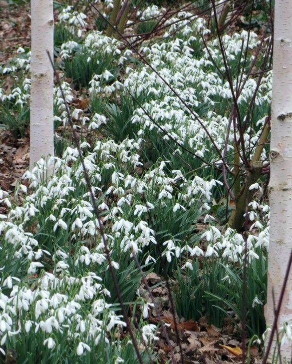 Galanthus Nivalis Snowdrop Single
