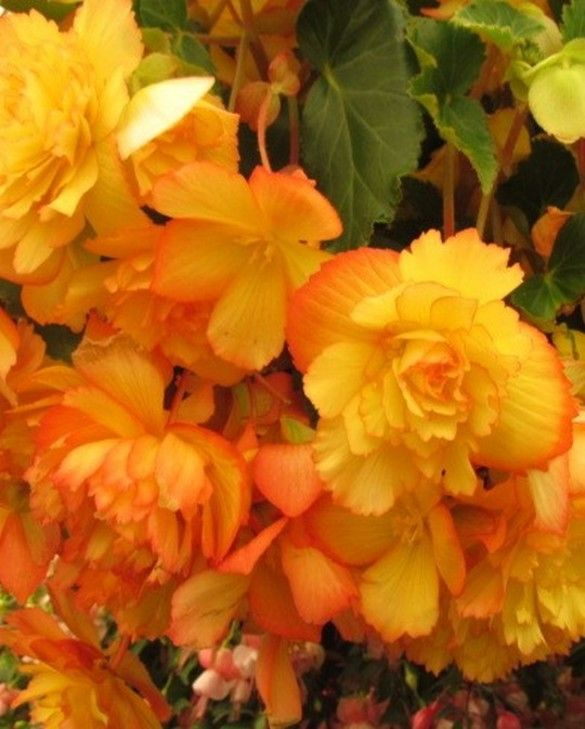 Begonia Golden Wave