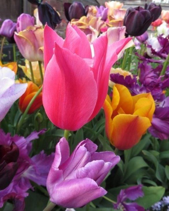 Tulip Mariette