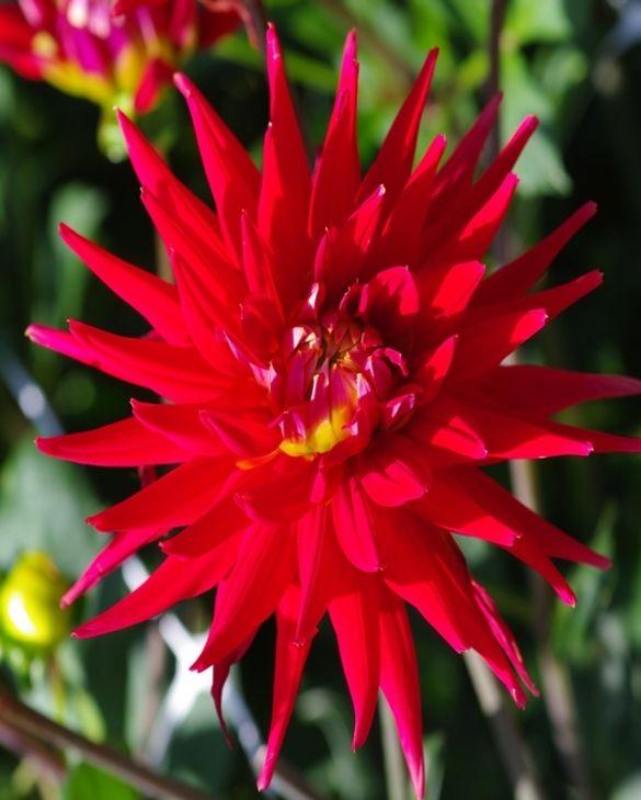Dahlia Karma Red Corona