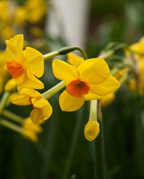 Narcissus Martinette