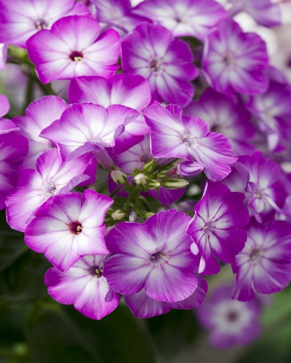 Phlox Flame Purple Eye