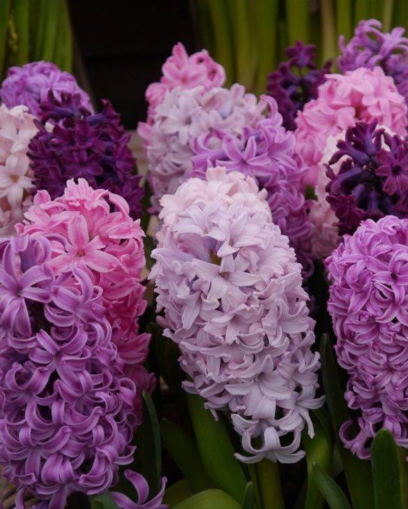 Hyacinth Crushed Berries Mixture