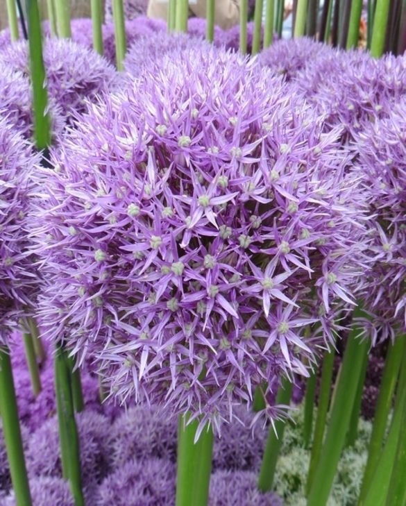 Allium Beau Regard