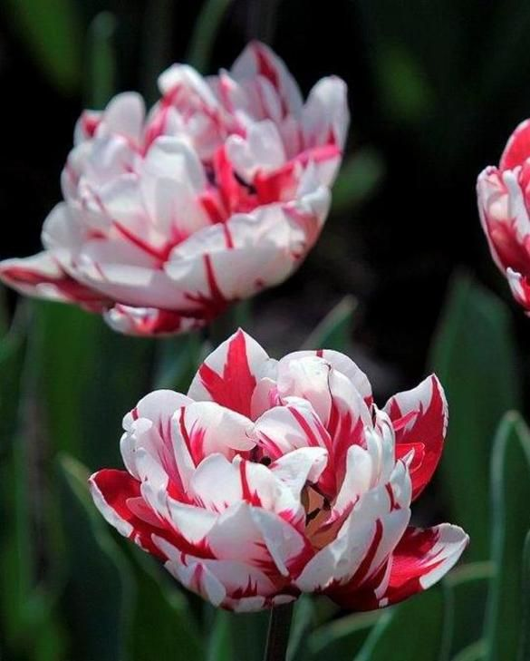 Tulpe Carnival de Nice
