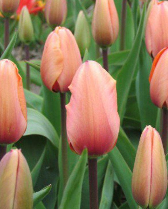 Tulip Apricot Impression