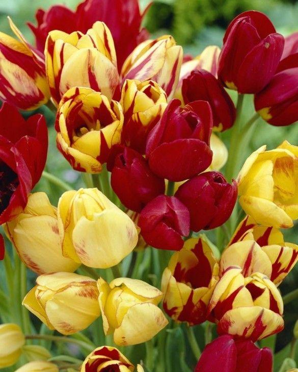 Tulip Multi-headed Mixture