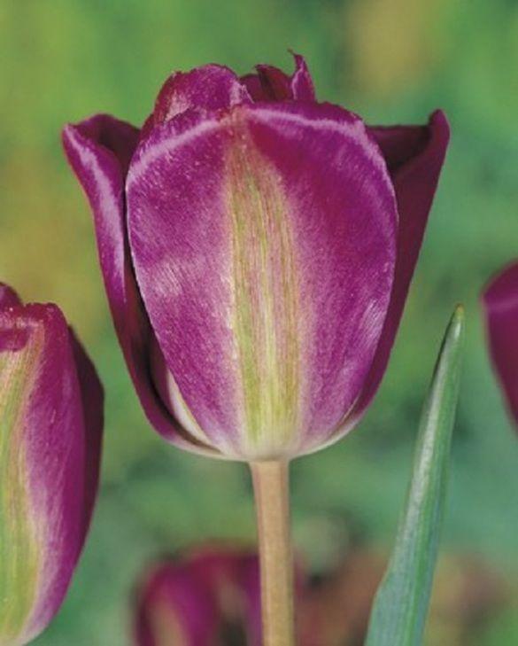 Tulip Nightrider
