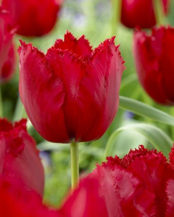 Tulip Red Wing