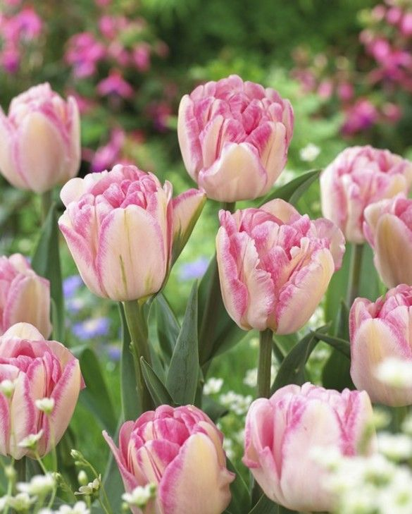 Pink Delight Tulip Collection