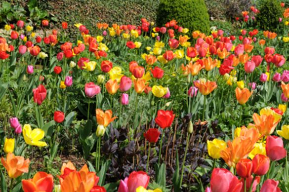 Tulip Single Early Mixture