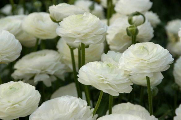 Ranunculus Aviv White