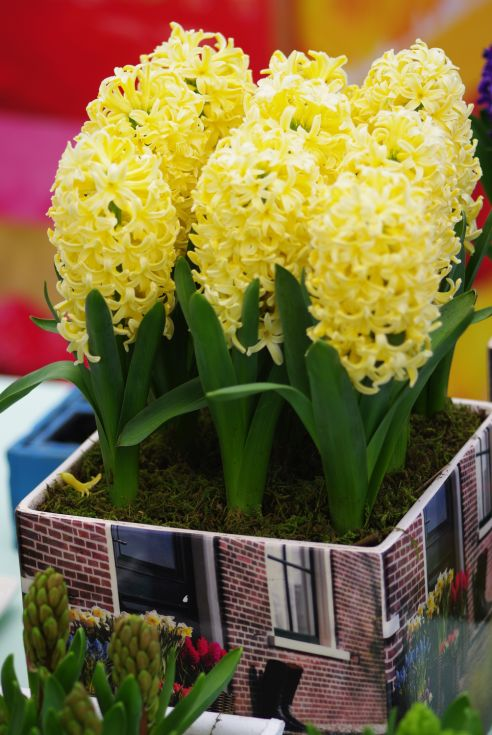 Prepared Hyacinth City of Haarlem