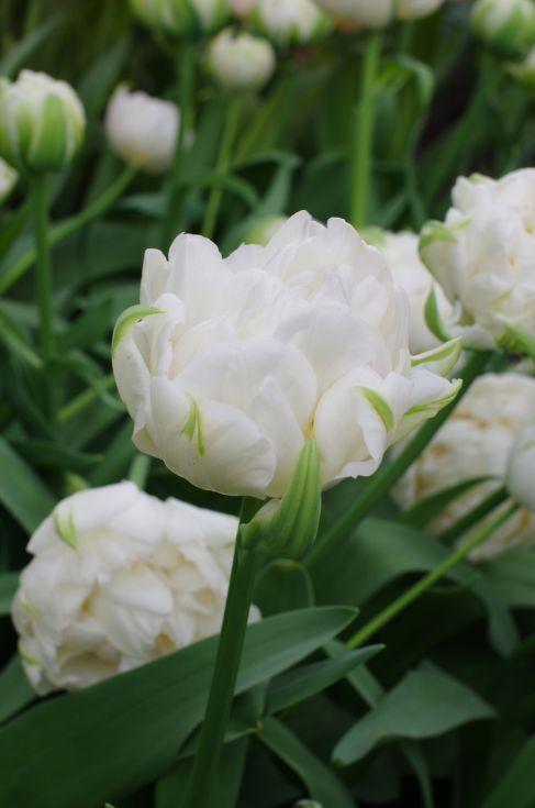 Tulip Ice Age