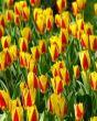 Tulpe Stresa