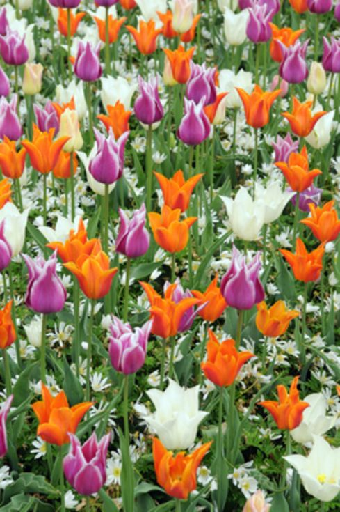 Tulip Lily Flowering Mixture
