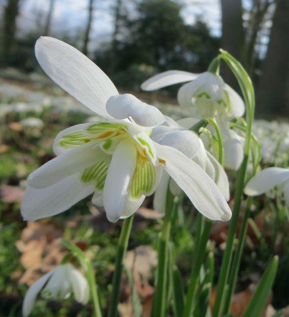 Galanthus Snowdrop Double (Flore Pleno)