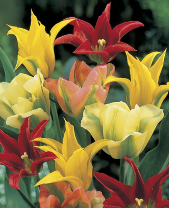 Tulip Viridiflora Mixture