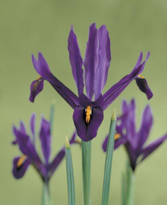 Iris Reticulata J.S. Dijt