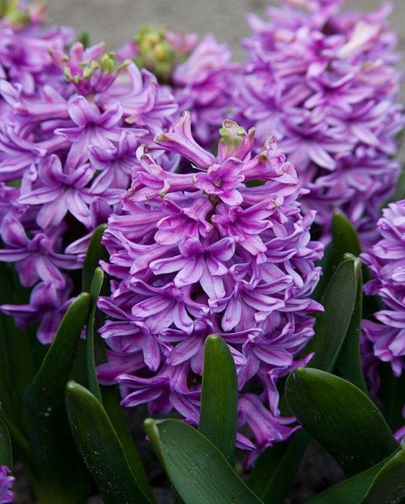 Hyacinth Purple Voice