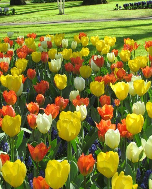 Collection de Tulipes Agrumes