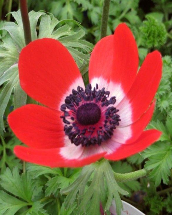 Anemone Coronaria De Caen Hollandia