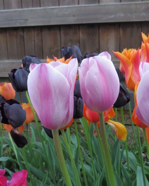 Tulip Mistress Mystic