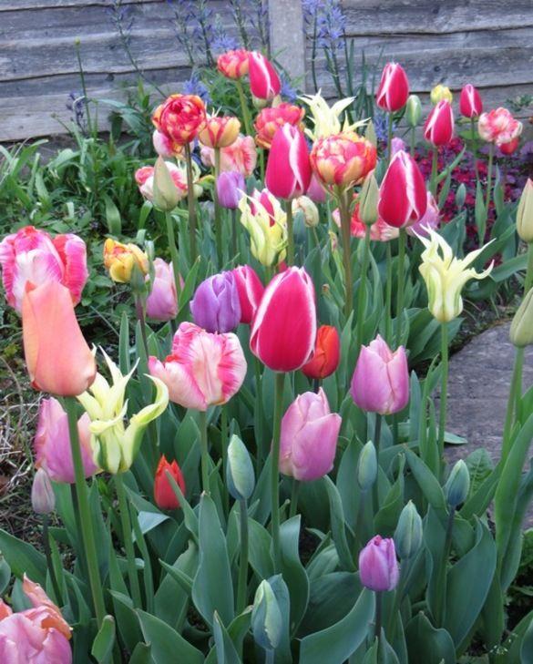 Collection de Tulipes Bonbons en Vrac