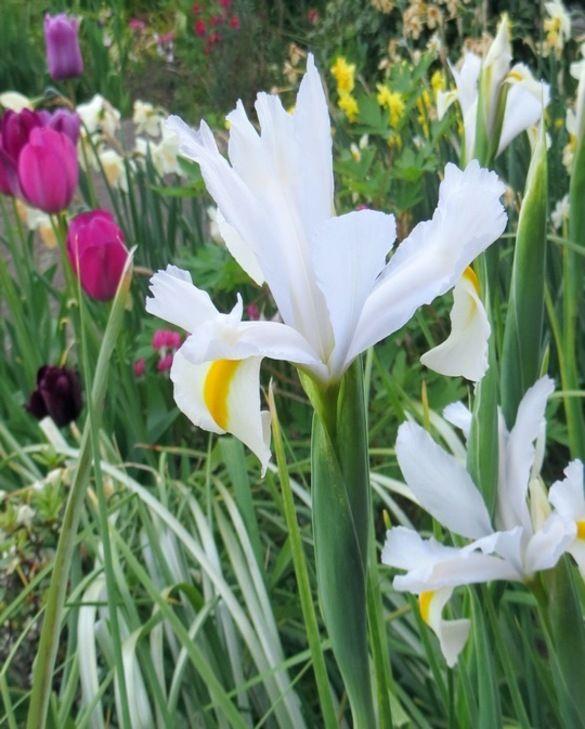 Dutch Iris White Magic