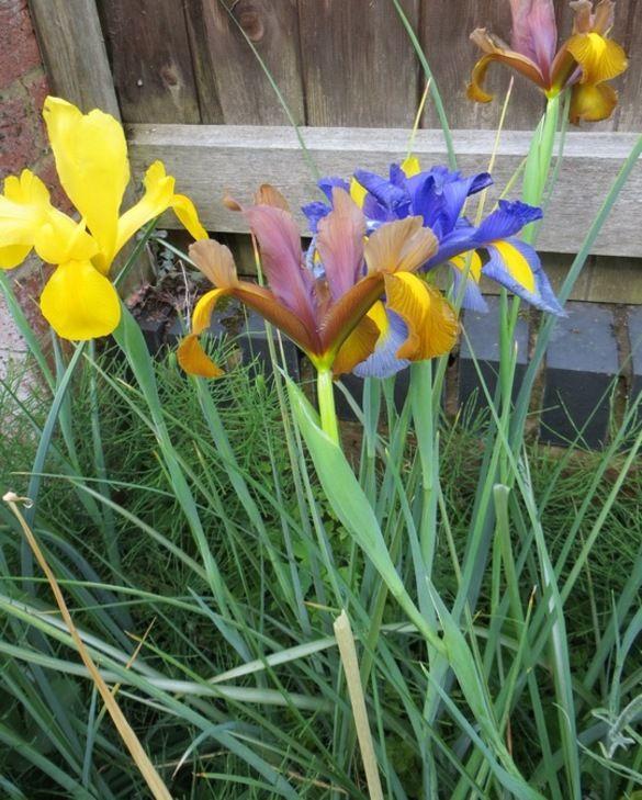Dutch Iris Beauty Super Mix