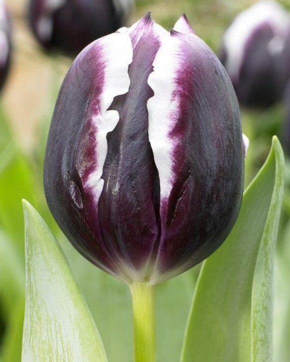Tulip Jackpot