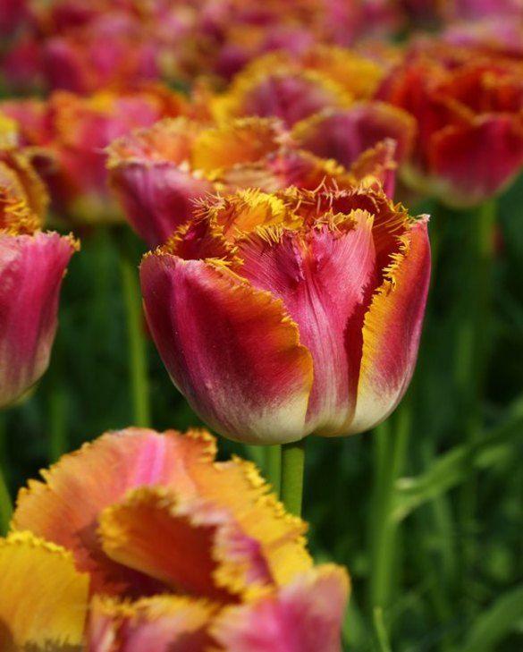 Tulip Sunset Miami