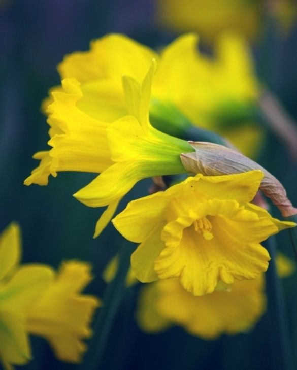 Narcissus Obvallaris (Tenby Daffodil)