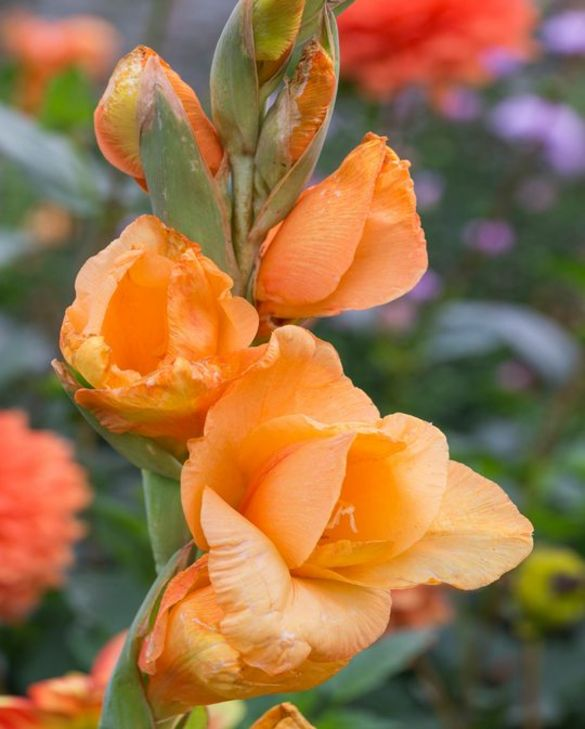 Gladiolus Ovatie