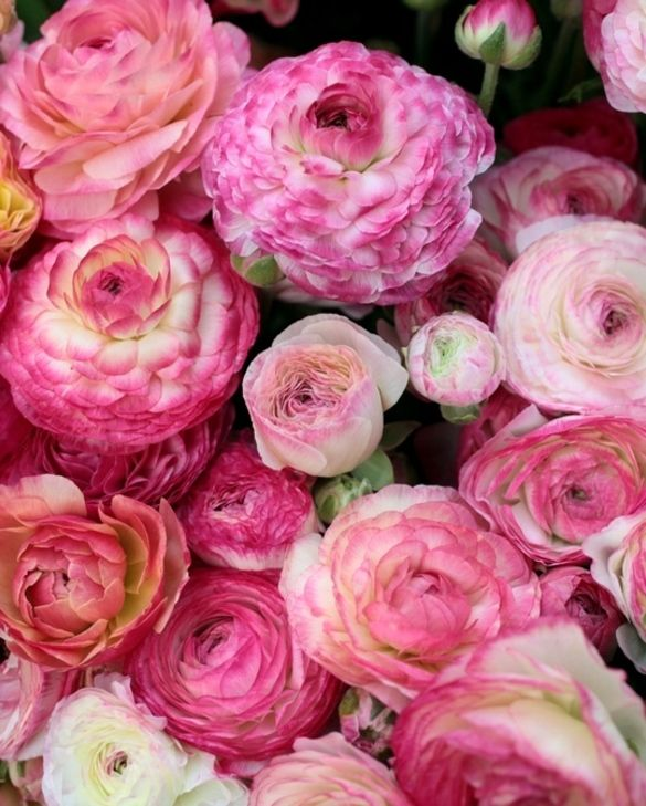 Ranunculus Picotee Pink