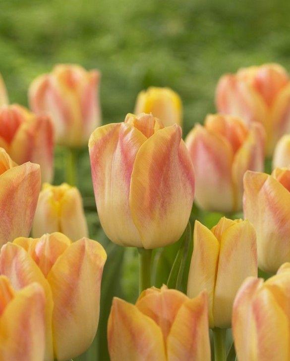 Tulip Salmon Dynasty
