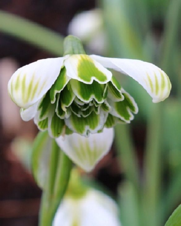 Galanthus Snowdrop Hippolyta