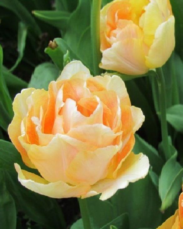 Tulip Charming Lady