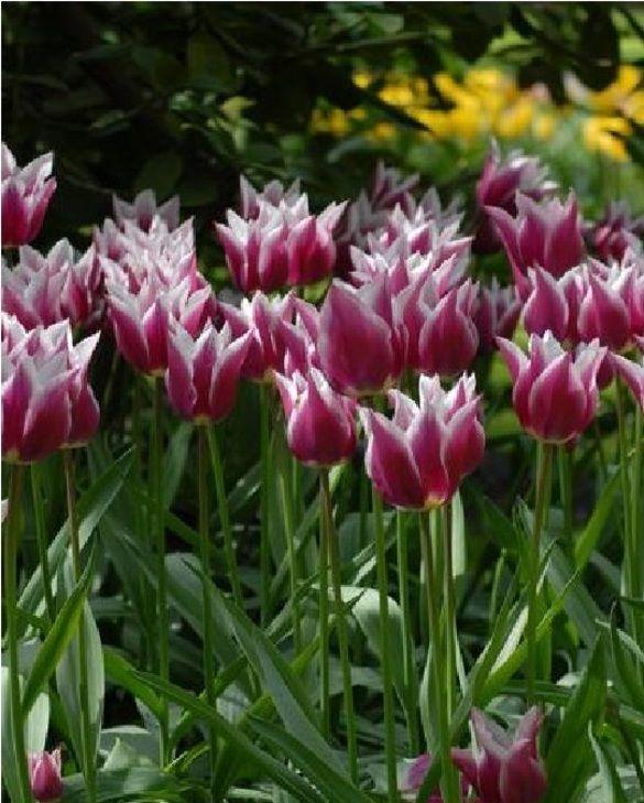 Tulipe Claudia