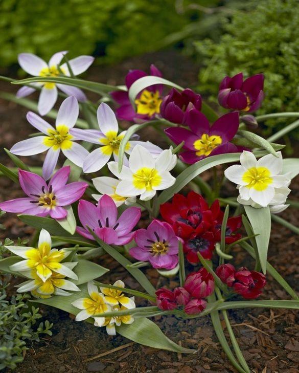 Tulip Tulipa Mixture