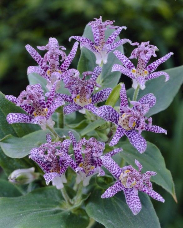 Tricytris Purple Beauty