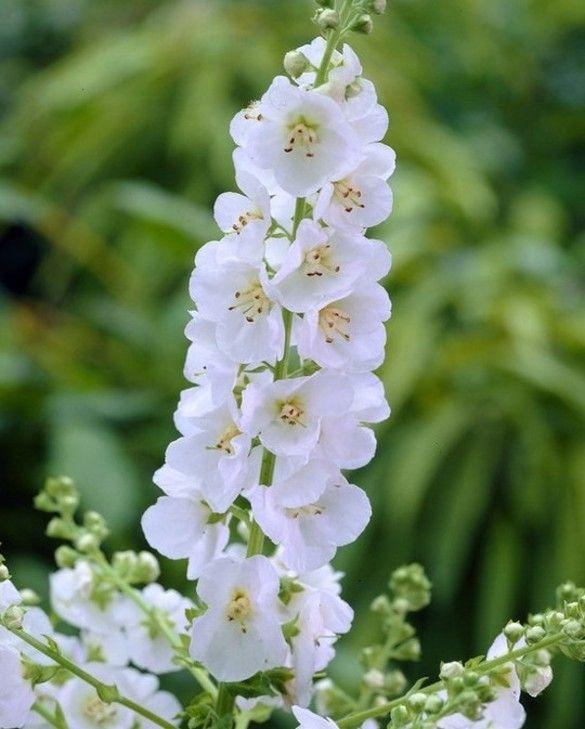 Verbascum White Domino