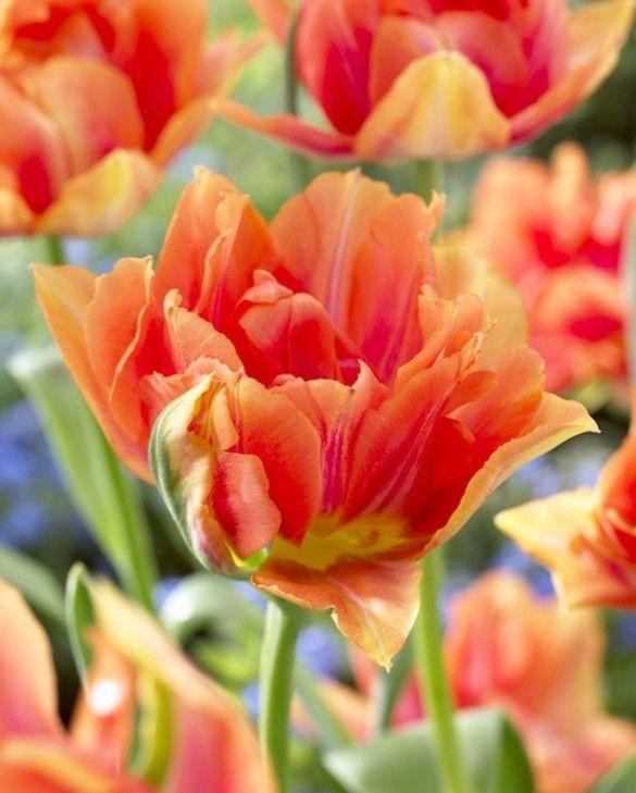 Tulip William of Orange